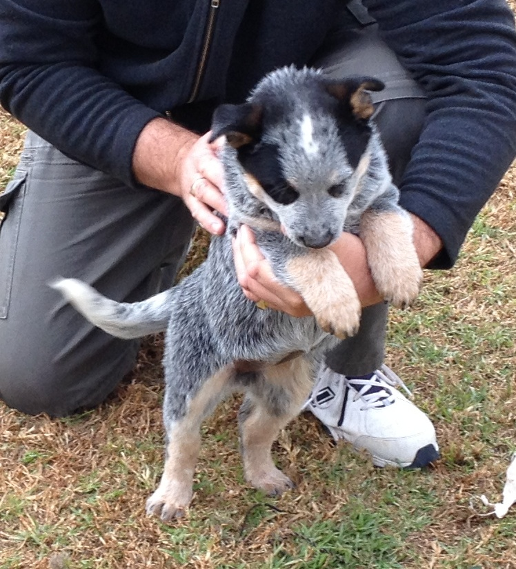 HallsHeeler Lord Patty - Female Australian Cattle Dog Pup