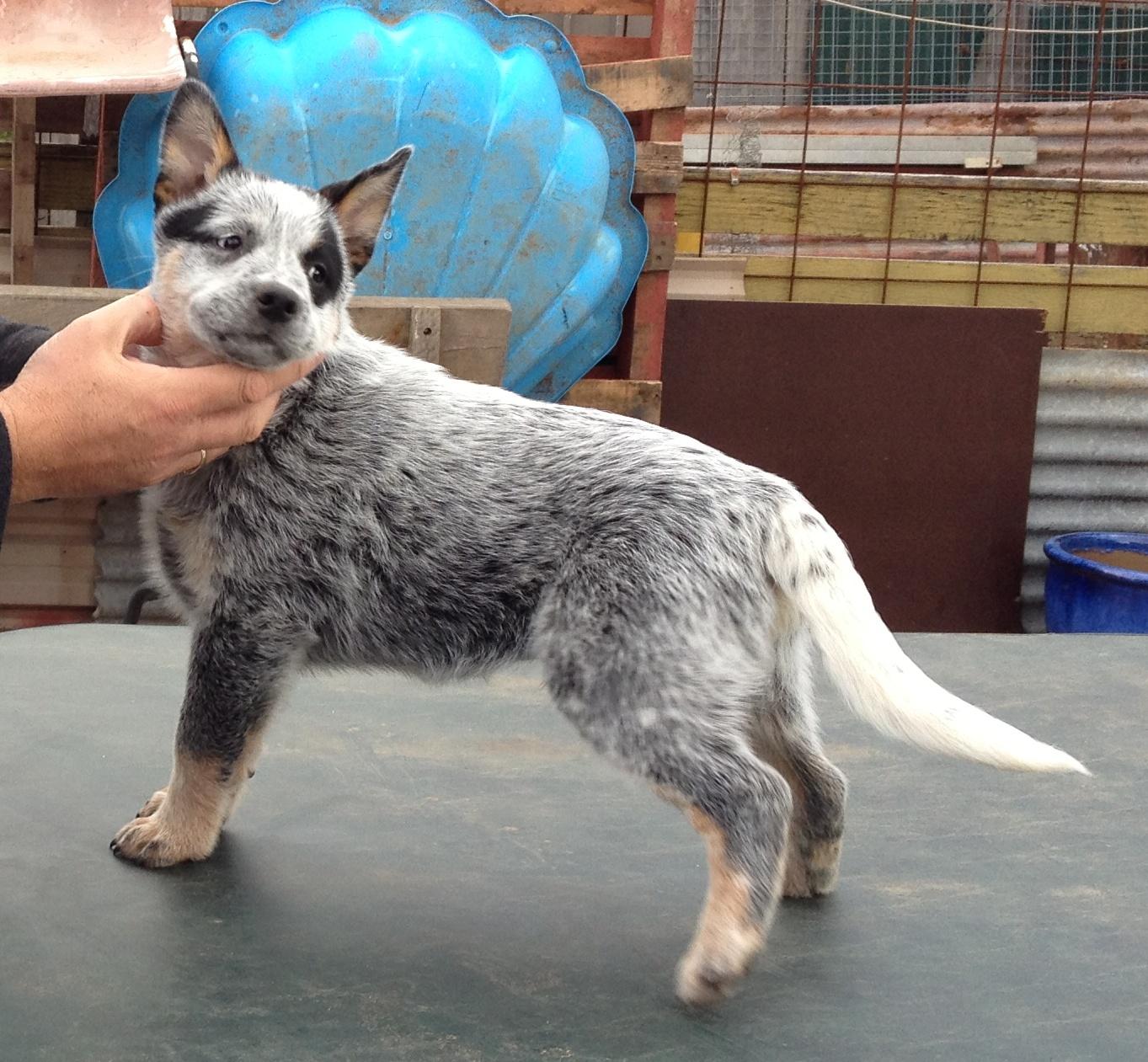 HallsHeeler Lord Stanley - Male Australian Cattle Dog Pup