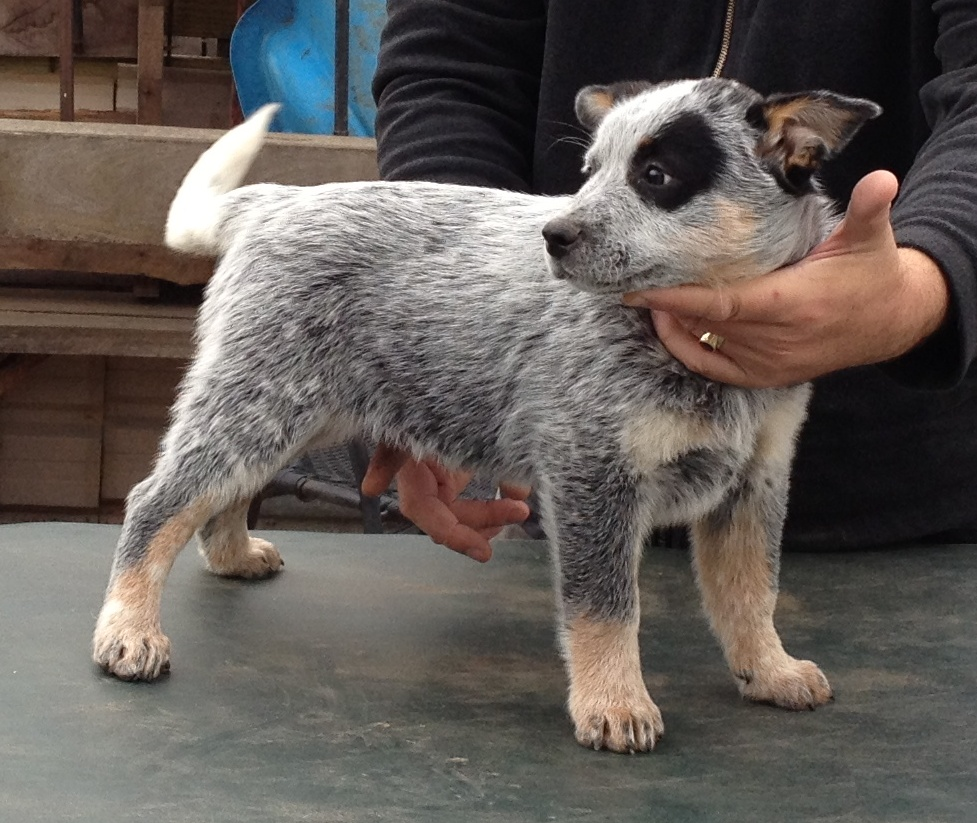 Photos of HallsHeeler's Australian Cattle Dog Foundation Dog
