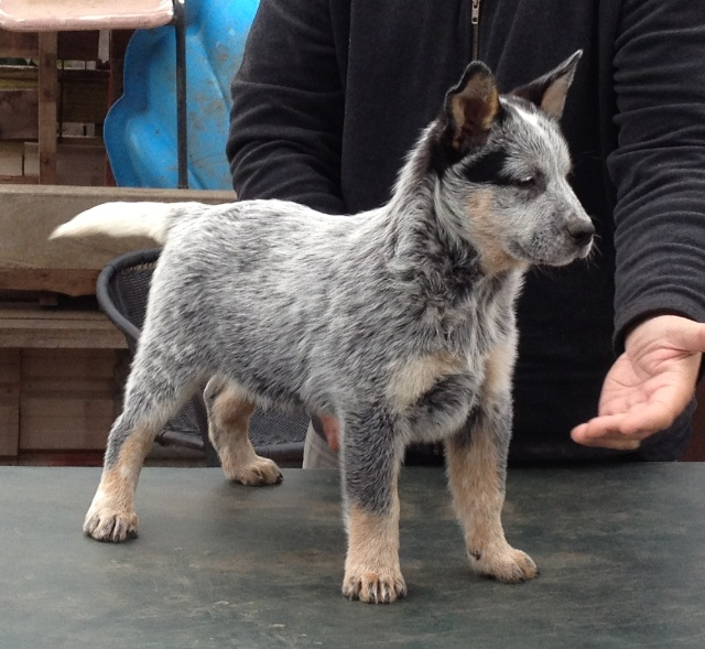 Australian Cattle Dog Puppies California