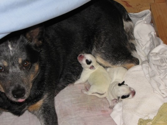 Lady and her two Australian Cattle Dog pups